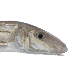 whiting fish marine decals