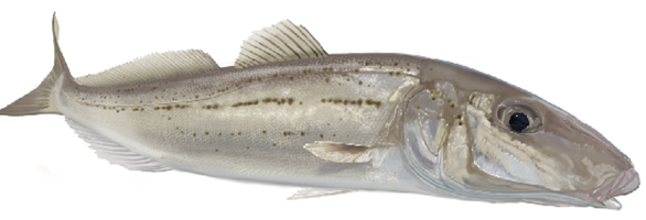 whiting fish decals for your boat